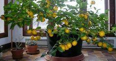 1000 id es sur le th me arbre en pot de citron sur - Faire pousser citronnier ...