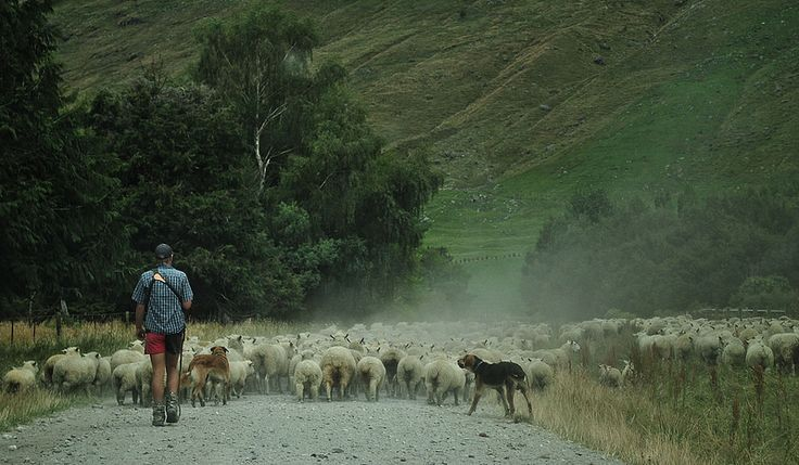 Sheep mustering, near Mt Aspiring Station New Zealand