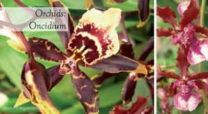 Orchid Oncidium or dancing ladies have tiny flowers. Their hardiness makes them perfect for beginners.  #aboutthegarden.com.au