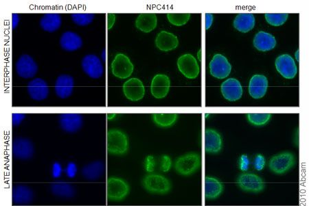 ... Immunocytochemistry/ Immunofluorescence - Nuclear Pore Complex Proteins antibody [414] (ab50008)