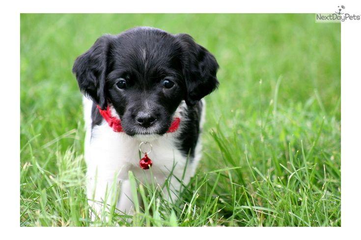 Brittany Spaniel puppy for sale near Sioux City, Iowa | 77d8feb2-05d1