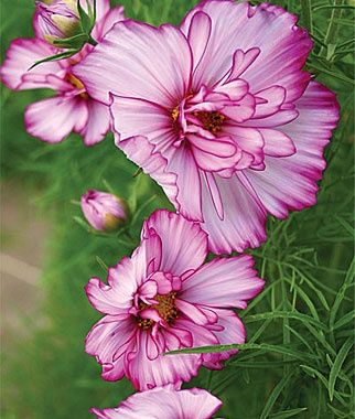 Cosmos 'Double take'.......so pretty- great alternative to the normal cosmos. Beautiful in cut flower arrangements.
