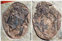ONGEBOREN DINO. Duizenden fossiele dinosauruseieren zijn over de hele wereld gevonden, maar nog nooit had iemand een dino-embryo beschreven. Chinese wetenschappers melden nu in Nature de vondst van zo'n ongeboren dino. Het embryo, dat met ei en al is vers
