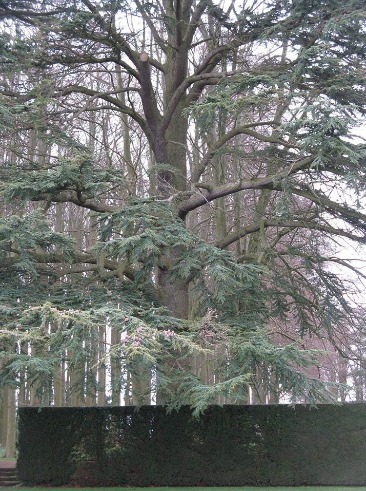 A tree at Hidcote.
