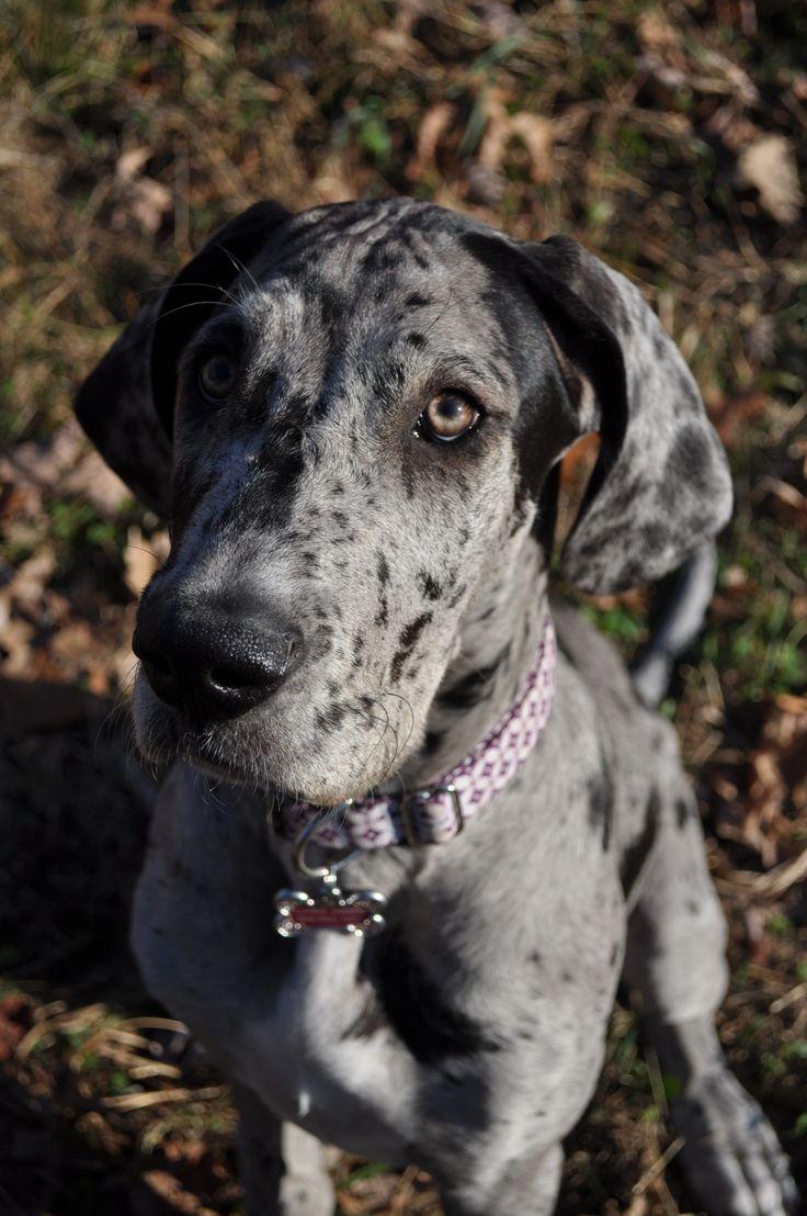 305 best great dane love images on Pinterest | Big dogs, Animals ...