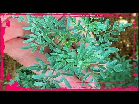 Para Que Sirve La Ruda Como Planta Medicinal https://www.youtube.com/watch?v=Ur4cF9oJ-Hk para que sirve la ruda como planta medicinal -