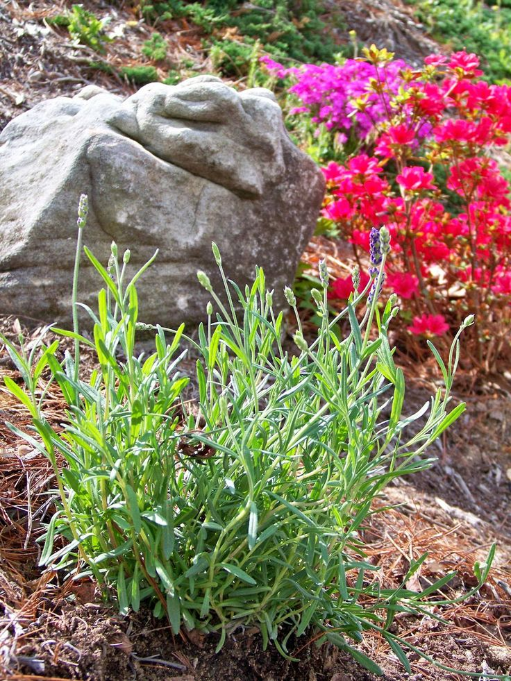 how to grow spanish eyes lavender