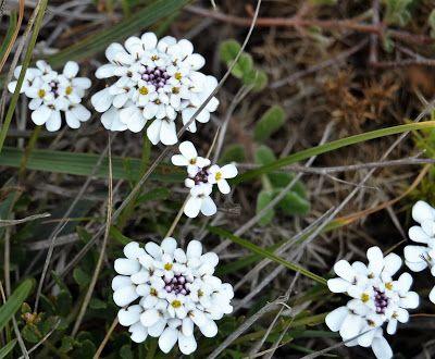 Iberis procumbens subsp. microcarpa