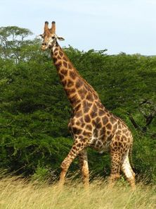 Falaza is on the Elephant Coast of KwaZulu-Natal, close to #Hluhluwe-Imfolozi Phinda, and Mkuze #Game #Reserves. #Giraffe http://falaza.co.za/about-us/location/