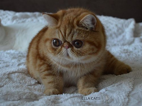 The Exotic Shorthair cat has a very exotic look and shorthaired fur, or in other…