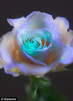 LOVE IT!!! galassia rose, glow in the dark rose
