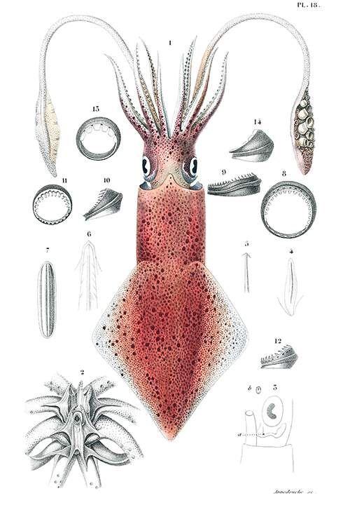 Publisher: Paris: Gide et Cie, Éditeurs, 1845 Common Squid – Macareux Moine