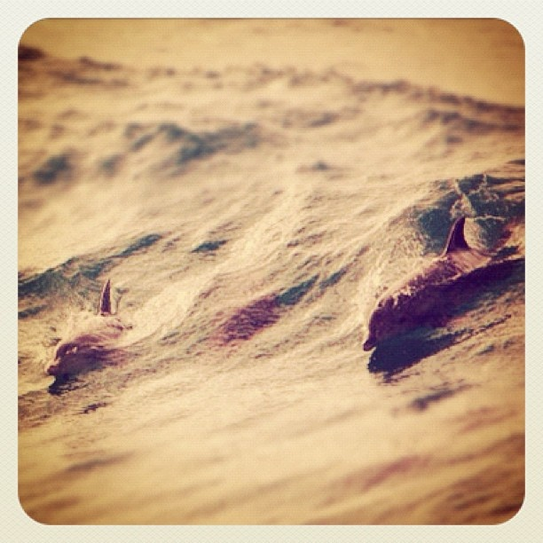 Lovely to see our fine finned friends at Bondi... #dolphins #atbondi #bondi #sydney #australia #surf #waves #surfing