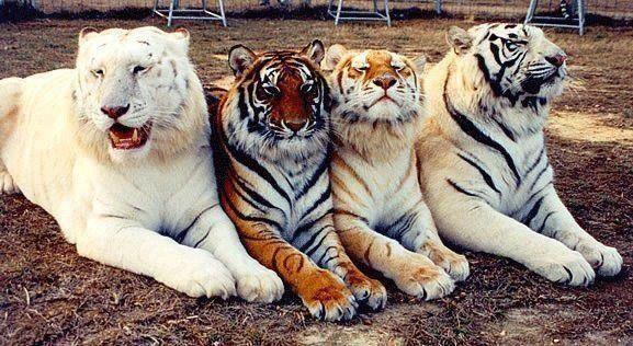 Tigon, Bengal tiger, ligon and Siberian tiger
