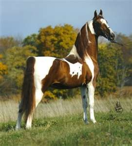 american saddlebred stallion