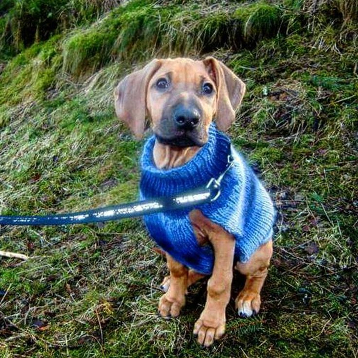 50 shades of adorable!! In a sweater Mamin (Dadsen's mom) knitted for him💙  #tb #throwback #tbt #throwbackthursday #puppylove #puppy #beautifuldog #cutest #liondog #løvehund #valp #minvalp #mypuppy #gorgeous #homemade #knittedsweater #RR #RhodesianRidgeback #RhodesianRidgebacksofinstagram #Ridgeback #dogsofinstagram #dogmodel #mrhandsome #mylittleman #cutestpuppy #Kingsley #adoreasridgedfidelis