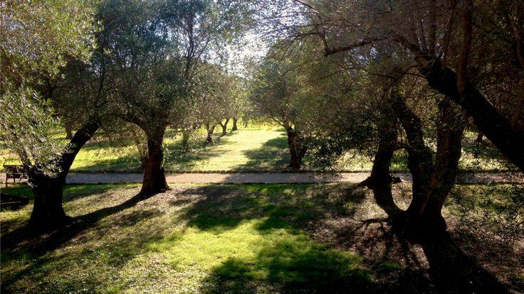 Oliivipuisto Cap d'Antibesissa.