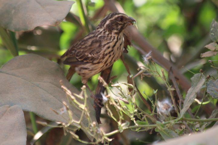 streaky seed eater