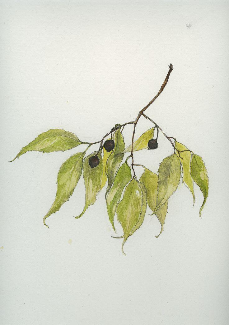 Celtis australis (secondo Linneo). Conosciuto col nome popolare di Bagolaro (albero che produce piccole bacche). Una pianta longeva dalla chioma tonda e folta, eliofila e pionera, con le radici rob...