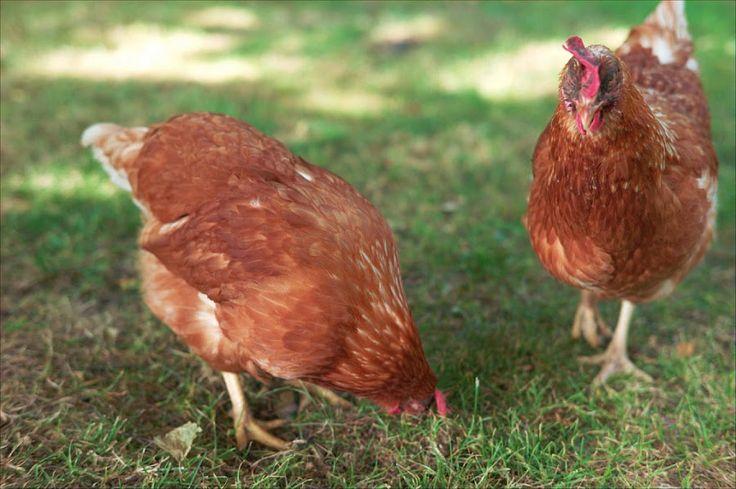 Cómo criar gallinas. En el articulo de hoy te vamos a dar siete consejos para que aprendas a cuidar y criar tus propias gallinas ponedoras, consejos muy sencillos que te facilitaran la cría y mejorar la calidad de huevos producidos y sobre todo la salud y bienestar de estas magníficas aves.