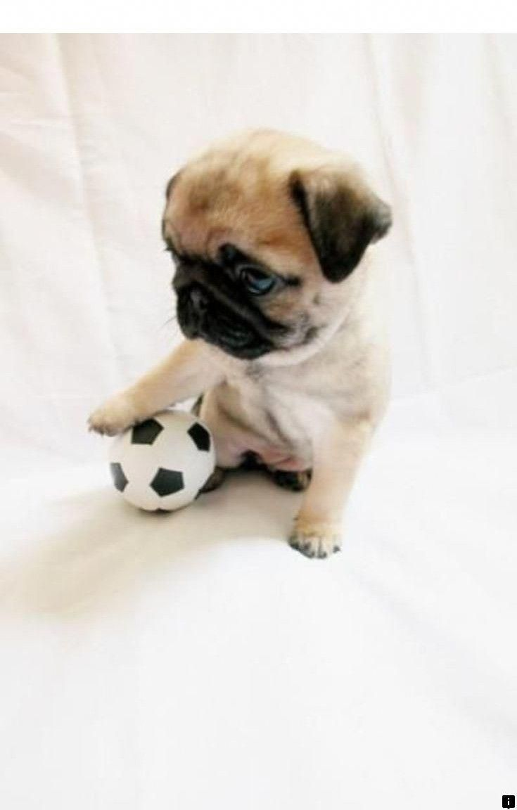 Find More Information On Pugs For Adoption Near Me Check The Webpage For More Information The Web Presence Is Wo Baby Pugs Cute Baby Animals Cute Pugs