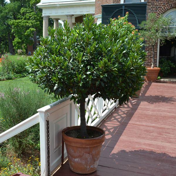 Sweet Bay Laurel (Laurus nobilis)                                                                                                                                                                                 More