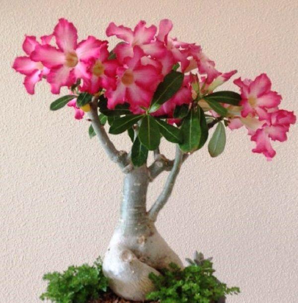 Como Cultivar Rosa Do Deserto. ¿QUÉ CUIDADOS TENER A LA HORA DE CULTIVAR LA ROSA DEL DESIERTO?   A pesar que su nombre es Rosa del Desierto, nada tiene que ver con las rosas comunes que encuentras en los diferentes jardines, ya que es de la familia de los cactus, según la historia, dice que proviene del este de África y del sur de Arabia. Sunombre científico es Adenium obesum.  Esta planta es un arbusto que se caracteriza....  Como Cultivar Rosa Do Deserto. Para ver el artículo completo…