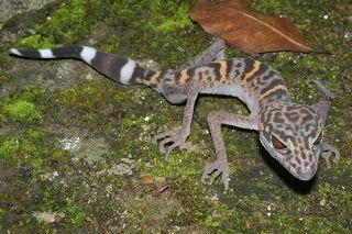 MOÇAMBIQUE: Vietname: Lagarto no Parque Nacional da Ilha Cat Ba - Lagarto vietnamita Um lagarto leopardo Cat Ba (Goniurosaurus catbaensis), que se encontra exclusivamente no Parque Nacional da Ilha Cat Ba, no norte do Vietname . É uma das 163 espécies encontradas na região do rio Grande Mekong em 2008, agora em risco de extinção devido às alterações climáticas.