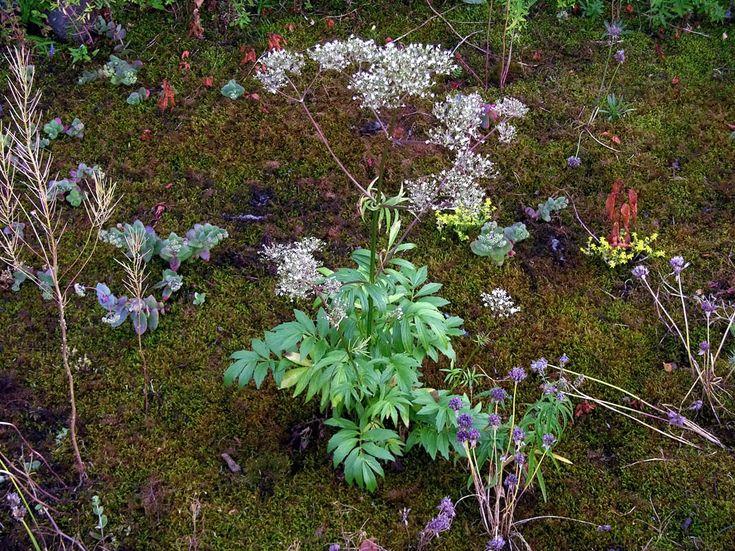 Flädervänderot, Valeriana sambucifolia - Blomväxter - NatureGate