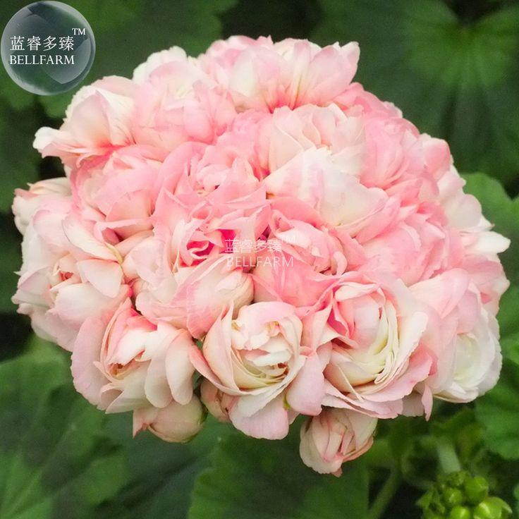 Bellfarm герань apple blossom светло-розовый цветок семена, 10 Семена, сад большие цветы растения бонсай BD136H