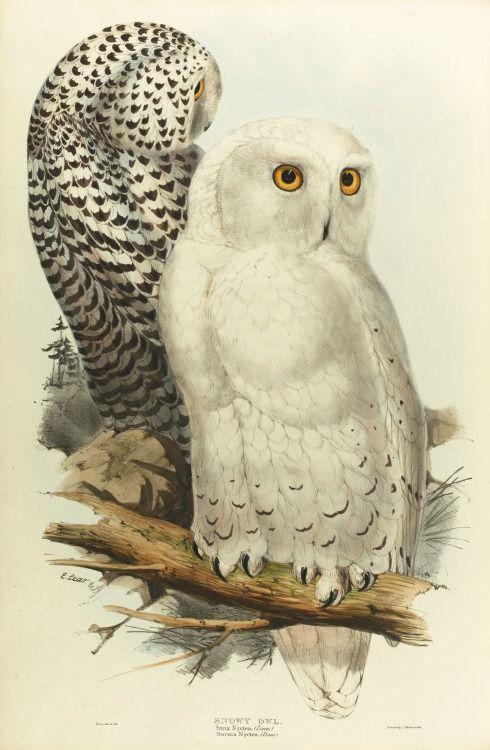 greynotgrey: The bird is the word biblipeacay: *Snowy Owl* from John Gould's 'Birds of Europe' (1832-1837) [link] drawn by Edward Lear; (early) lithography plate by Elizabeth Gould.