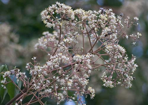 Gärtnerei Naturwuchs -- Heckensträucher + Solitäre -- Euodia hupehensis (=Tetradium daniellii hupehensis) -- Bienenbaum, Honigbaum, Stink-Esche