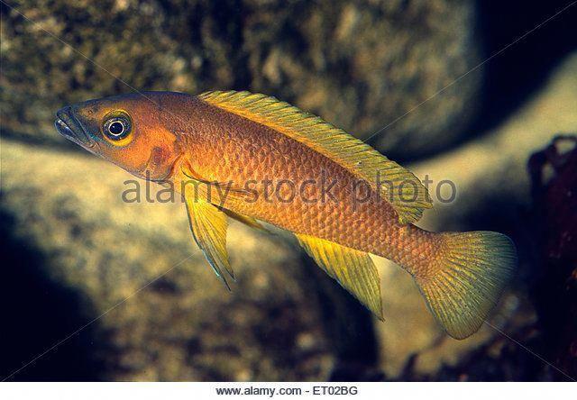 Lemon Cichlid Neolamprologus Leleupi Cichlidae Tanganika Lake Africa Stock Image