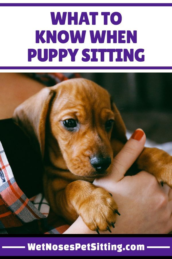 What To Know When Puppy Sitting Puppy Sitting Training Your
