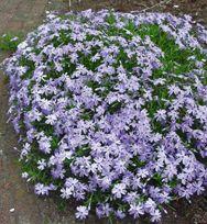 Phlox Blå Vårfloks - NY En utmerket staude for fjellhager/steinbed og murer. Den danner store tepper av nydelige blomster i mai/juni. Høyde 15cm. Hardførsone 6. Nr.SP¤64172 Kr. 49,00 for 5 planter