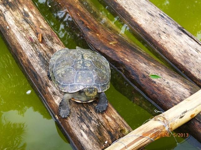 Tortoise Morelia