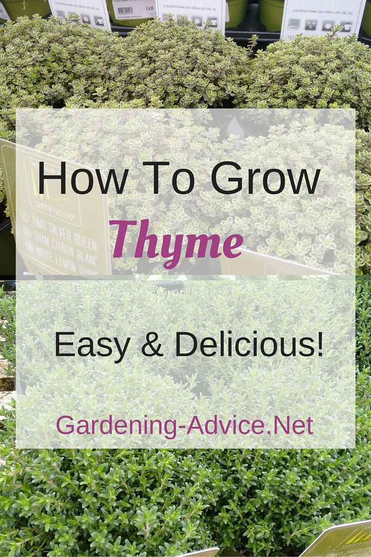 Thyme is probably one of the most popular herbs for cooking and if you have ever used fresh Thyme for chicken you know why. The flavor of fresh Thyme leaves is quite different to the dried ones. If you want the real Thyme flavor you just don't get around to growing a few plants.