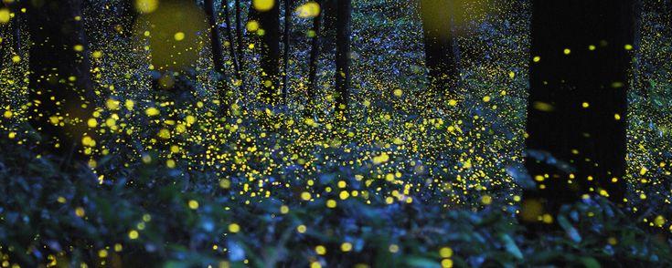 """Con la llegada del verano, entre los meses de junio y agosto, estos voladores """"brillantes"""" se apoderan de las noches en los bosques de Nanacamilpa. ¡Admira este espectáculo natural!"""