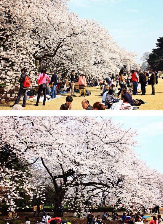 Japan. Sakura.