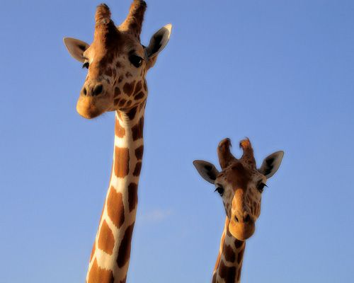 """""""Giraffes have a gestation period between 400-460 days...With lions and other predators abound, the world is a dangerous place for baby giraffes when they first come into the world--part of the reason for the long delay."""" (via mnn.com)"""