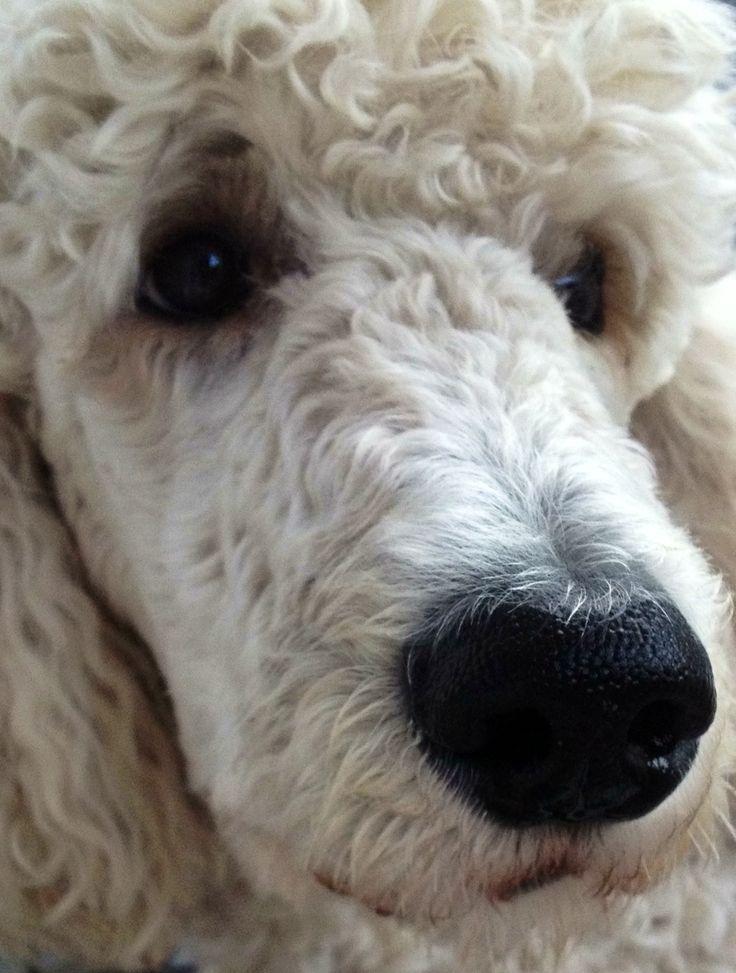 poodle.  Beautiful face, kind eyes.