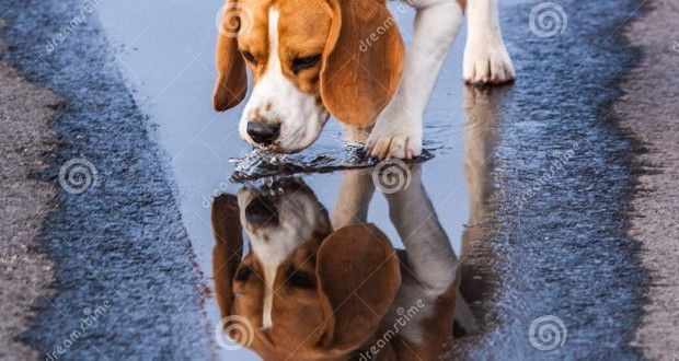 beagle-drinking-puddle-29085829