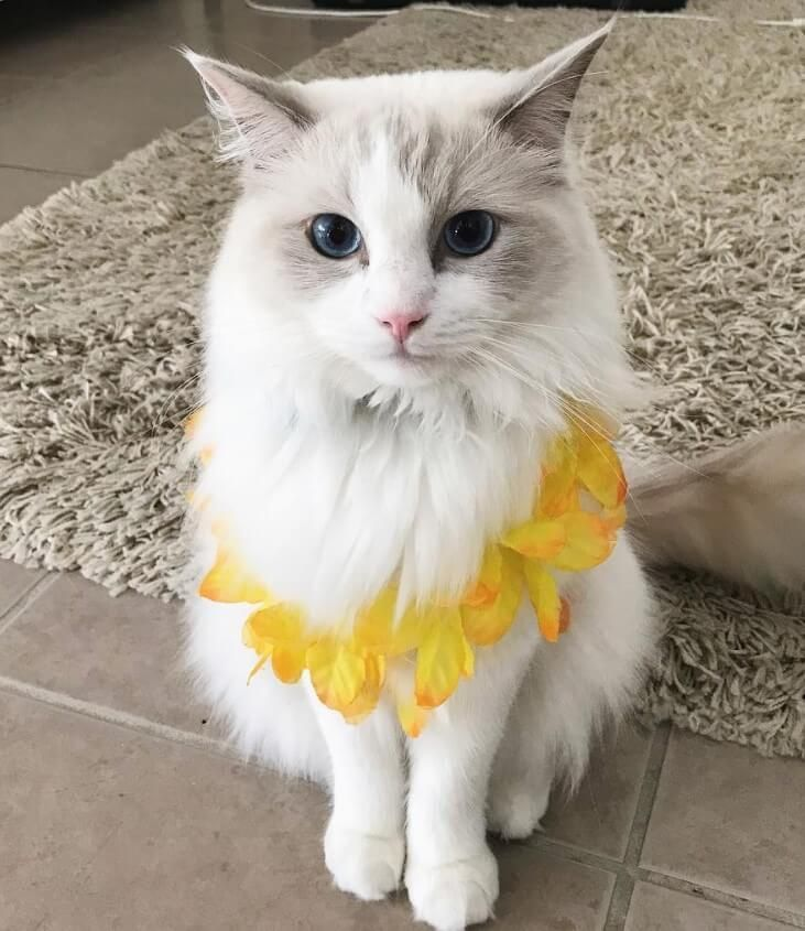 100+ Hawaiian Cat Names with Meanings | Cats | Cat names, Cats, Girl