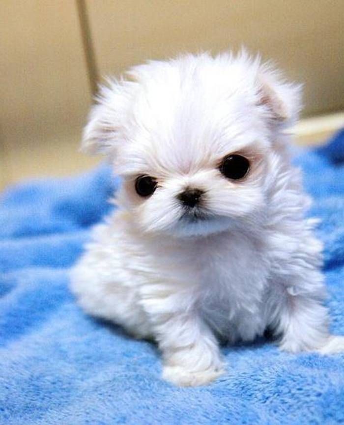 Teacup Puppies For Sale In Prince Edward Island Canada
