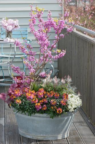 Alte Zinkwanne mit Fruehlingsbluehern bepflanzt : Judasbaum  (Cercis siliquastrum) , Goldlack (Erysimum 'Winter Orchid'), Schaumblüte (Tiarella 'Spring Symphony'), Purpurgloeckchen und Gänsekresse (Arabis caucasica 'Alabaster')