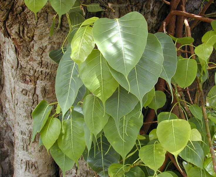 "Ficus religiosa, leaves and trunk of ""Bo tree"" growing at Schofield Barracks in central Oahu, Hawaiian Islands"