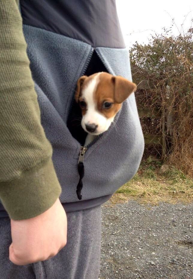 Don't leave home without a Jack Russell Terrier.