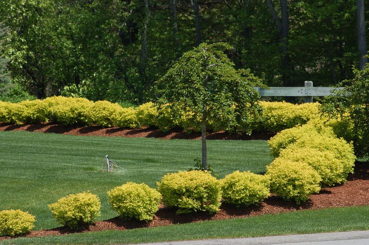 Shrubs with golden leaves can really brighten a landscape. There are various choices, including types of false cypress, barberry, privet, arborvitae, and spirea. Let's talk about a few: http://landscaping.about.com/od/evergreenshrubsbushes1/a/false_cypress.htm