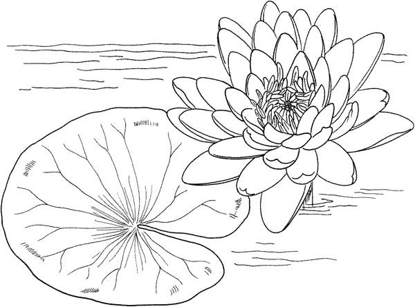 Nymphaea Mexicana And Lily Pad Coloring