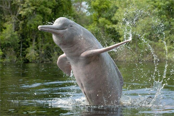 1 luglio: il delfino rosa del Rio delle Amazzoni ©Corbis